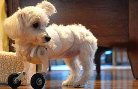 Dog With Wheels