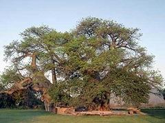 tree in a bar baobab