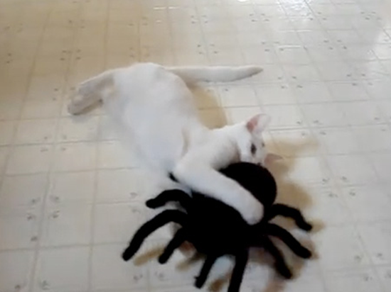 Cat Kitten Spider Fight