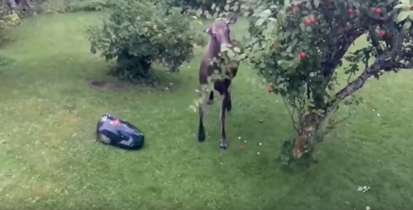 moose-vs-robotic-lawnmower-video