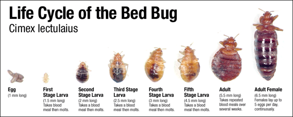 life+cycle+of+bed+bugs