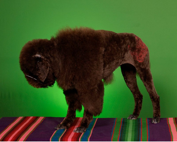 dog character shaving poodle water buffalo