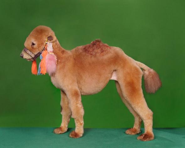 dog character shaving poodle camel