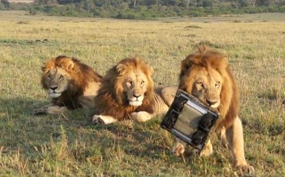 BeetleCam vs Lion